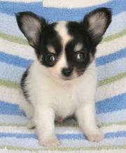 2 Chihuahua puppies looking for a new home