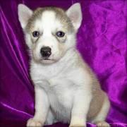 Siberian Husky puppies ready for adoption