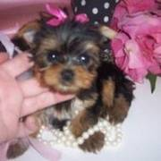 Tea-Cup Yorkie Puppies Ready for a New Home