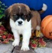 St. Bernard puppiesThese adorable ST Bernard puppies are playful and