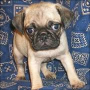 Pug puppies ready to gonow