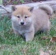 Friendly Shiba Inu Puppies