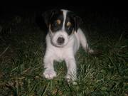 Two eight week old males Jack russell's