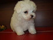 Top quality female teacup maltese puppy ready to go now.